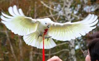 Шлейка для попугая. Как сделать поводок своими руками