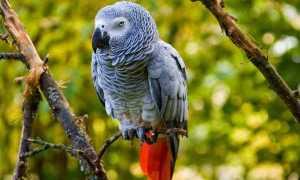 Краснохвостый жако — попугай-интеллектуал