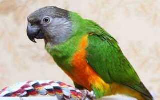 Сенегальские попугаи: описание, особенности содержания и обучения