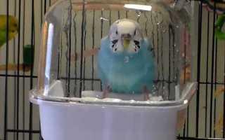 Купальня для попугая: как приучить купаться в купалке