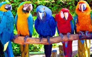 Попугай ара: разновидности, содержание в домашних условиях, сколько стоят