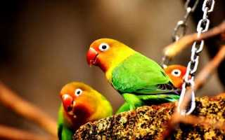 Чем кормить попугаев неразлучников?