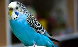 Лучшие имена для волнистых попугаев
