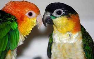 Каик попугай — ласковый, ручной клоун-компаньон