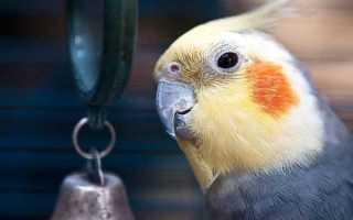 Все о болезнях попугаев корелла (нимфа)