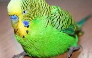 Что делать, если у попугая отказали лапки?