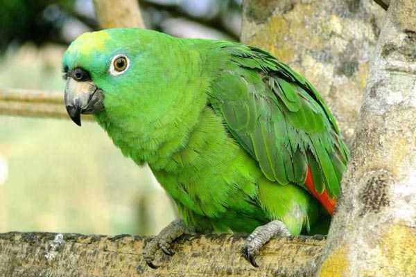 попугай амазон в естественной среде