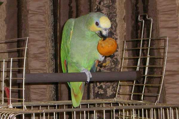 попугай венесуэльский гуляет вне клетки
