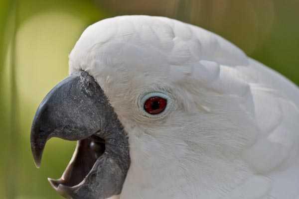 белохохлый какаду может кричать постоянно