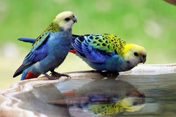 парочка бледноголовых попугаев пьют воду