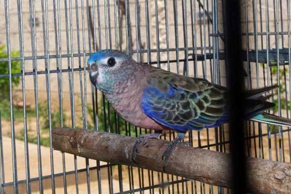 австралийская птица боурка в вольере