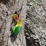 гнездо попугаев фишера в дупле дерева