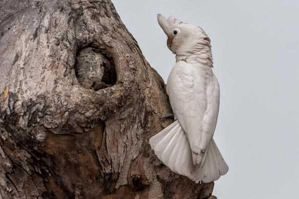 белые какаду любят устраивать гнезда в дуплах деревьев