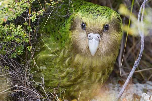 какапо попугай имеет окрас, делающий его незаметным на фоне растительности