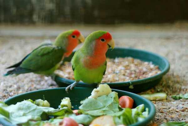 попугаи едят сухой и влажный корм