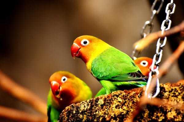 попугаи неразлучники любят разнообразный корм