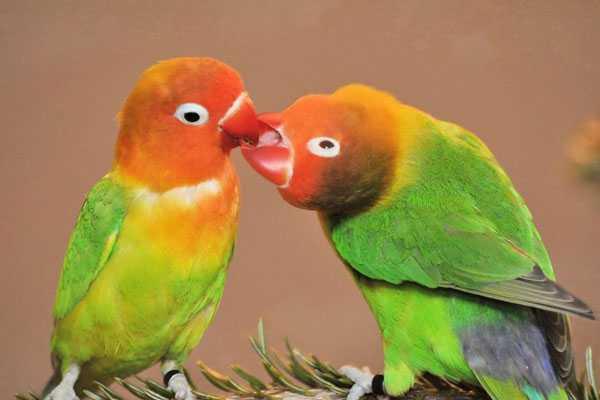 во время гнездования самец кормит самку