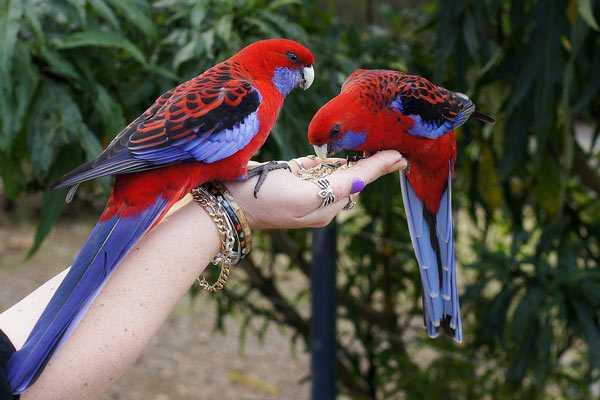 пара красных розелла сидят на руке