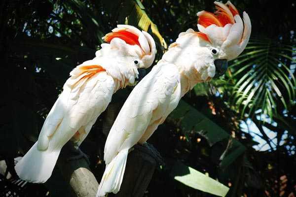 пара молуккских какаду любят жить в ветвях деревьев