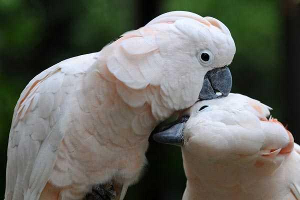парочка целующихся молуккских попугаев