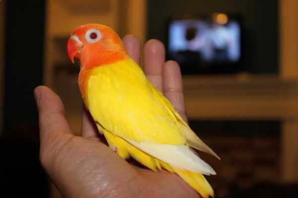 попугай фишера возле телевизора на руке