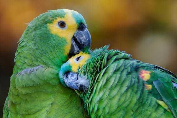 брачный период у парочки попугаев