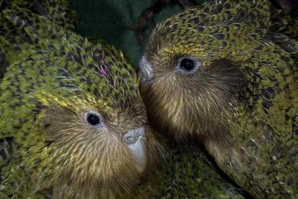 пара совиных попугаев