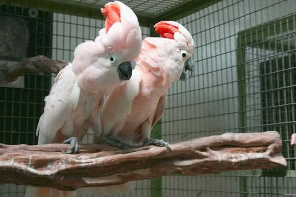 пара молуккских какаду в вольере