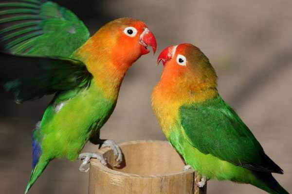 самец и самка попугаев