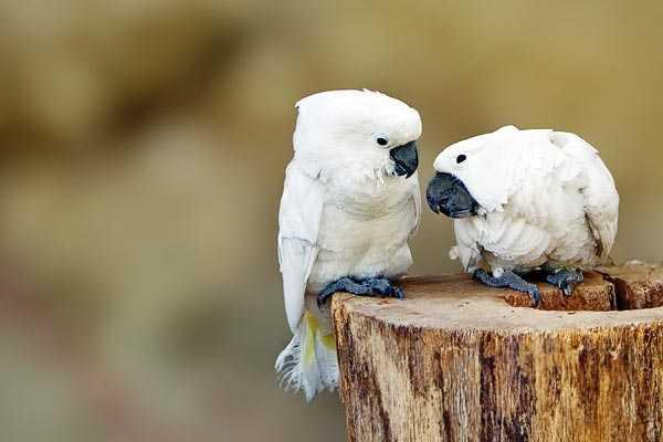 птенцы белохвостых какаду
