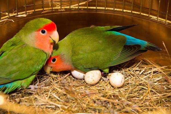 гнездо и яйца розовощеких неразлучников
