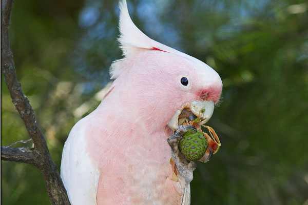 у австралийского попугайчика должен быть разнообразный рацион