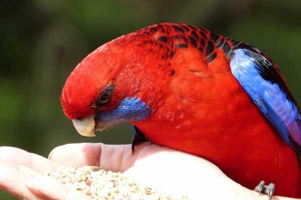 пенантовый попугай ест с ладони