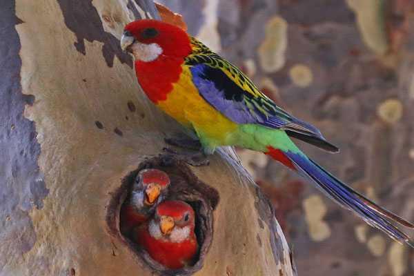 гнездо пестрых попугаев в дупле