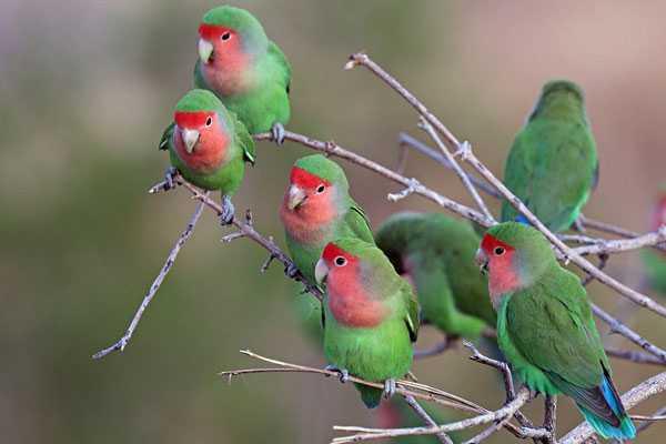 розовощекие попугаи в дикой природе
