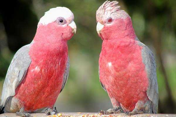 самец и самка гала