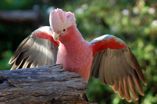 самка розового какаду
