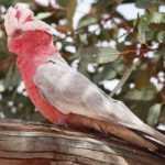 самка розового попугая