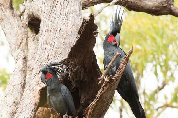 гнездо пальмовых какаду