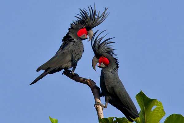 пара черных какаду