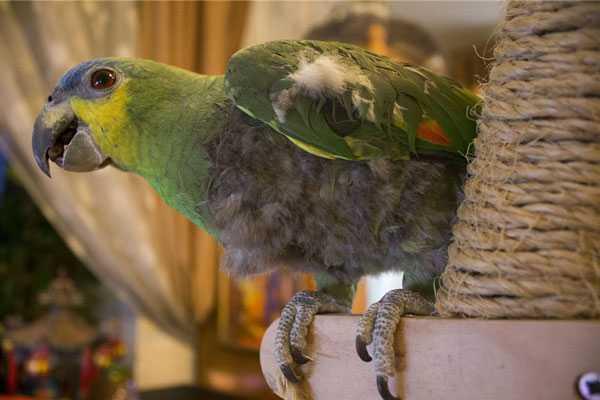 венесуэльский амазон сам себе ощипывает крылья
