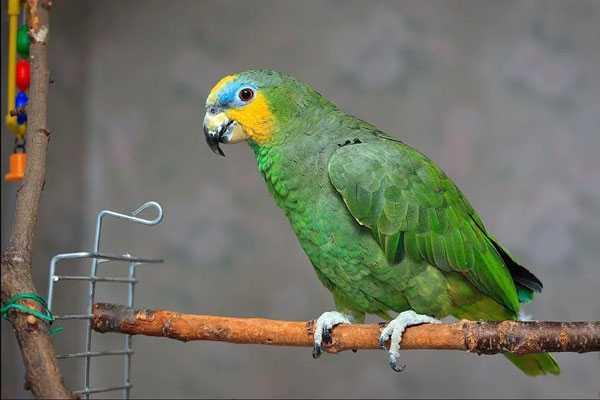 венесуэльский попугай на жердочке