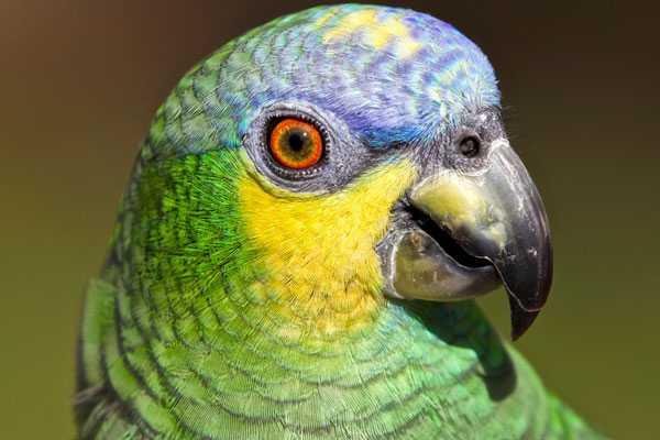 богатство красок в оперении венесуэльского амазона
