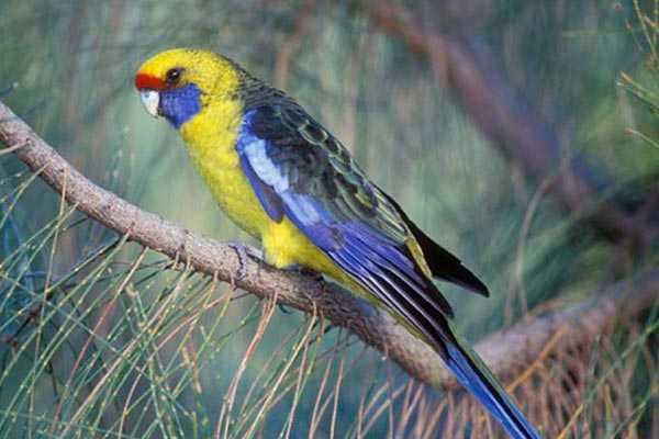 зеленый (тасманский) попугай
