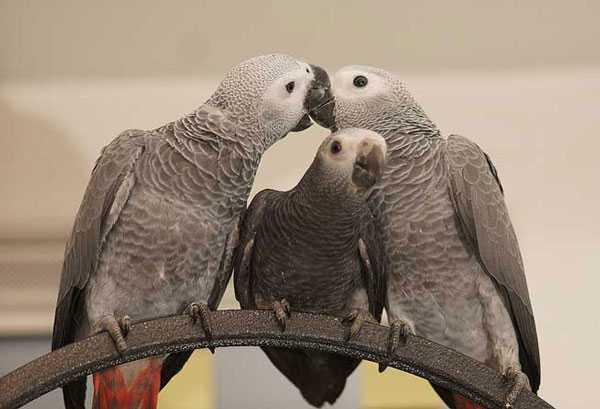самец, самка и птенец краснохвостых жако