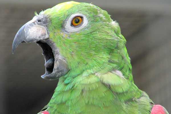 попугаи амазоны громко кричат