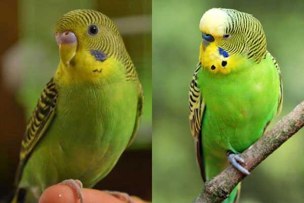 два волнистых попугая с шапочкой на голове