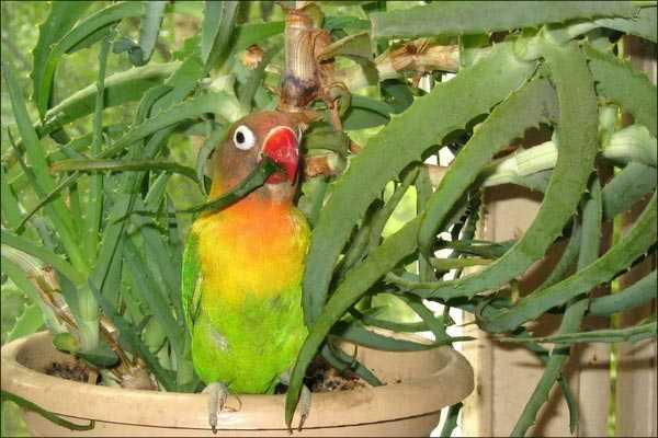 птица фишера ест цветок
