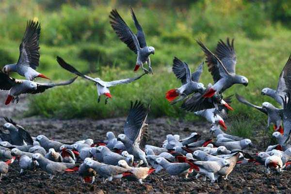 стая серых африканских попугаев