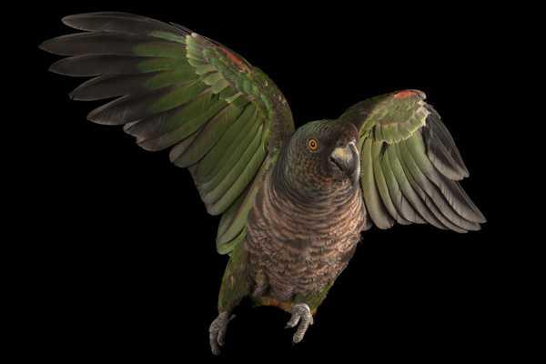 императорский амазон распахнул крылья